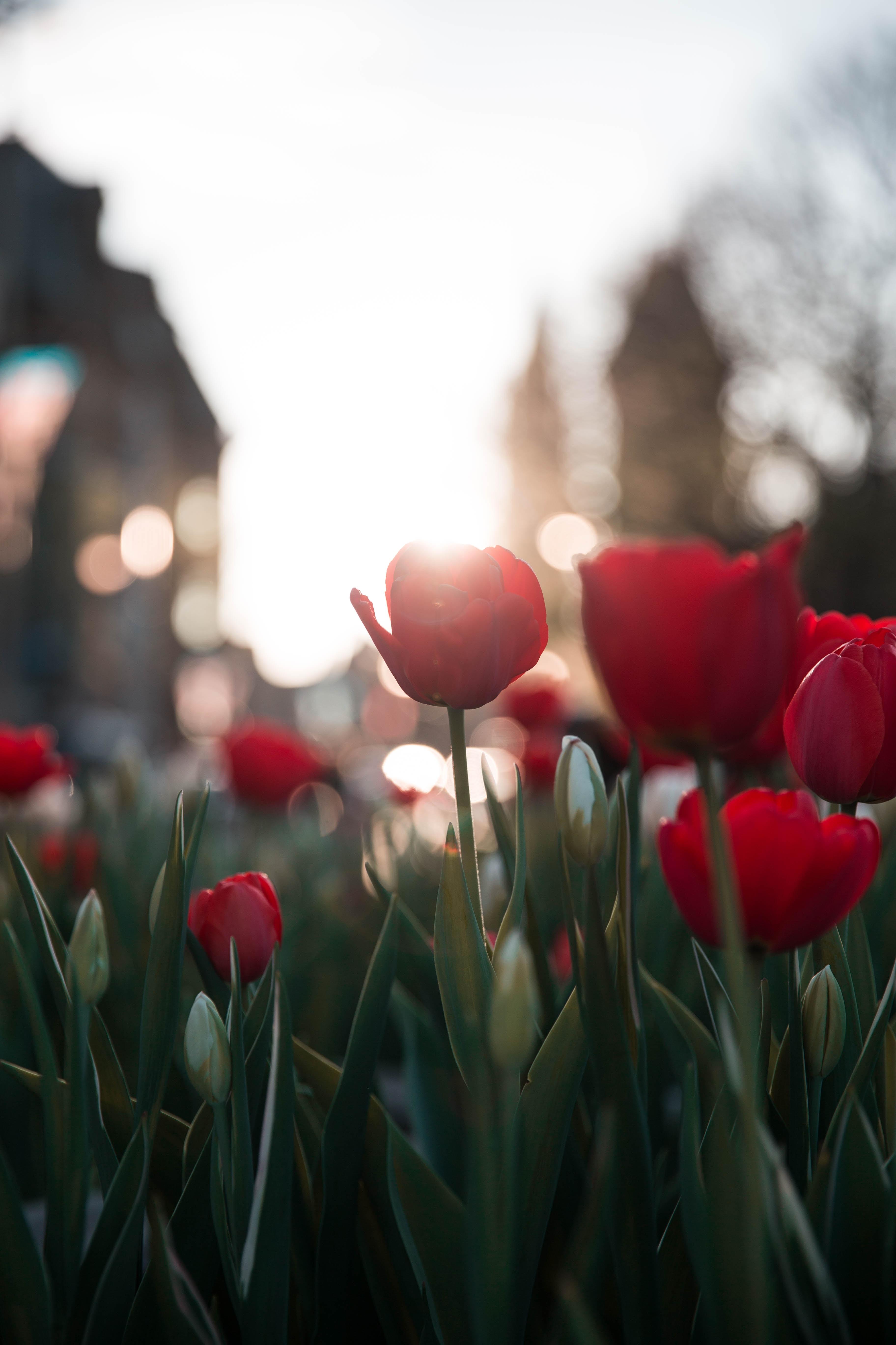 red rose flower fields
