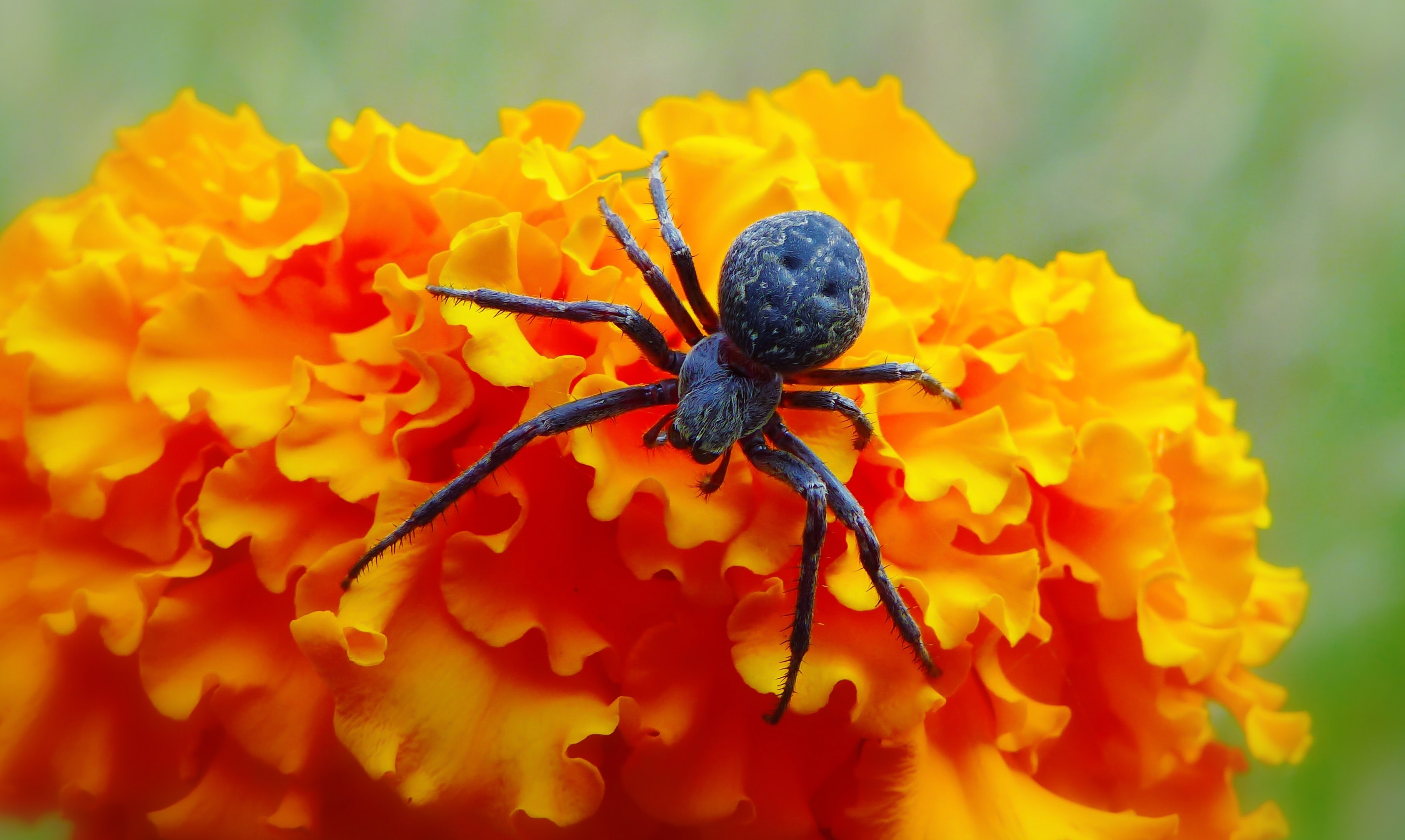 macro photography of black spider on orange flower