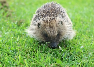 brown hedge hog
