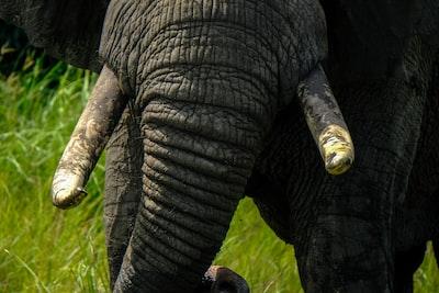 grey elephant on green grass closeup photography uganda teams background