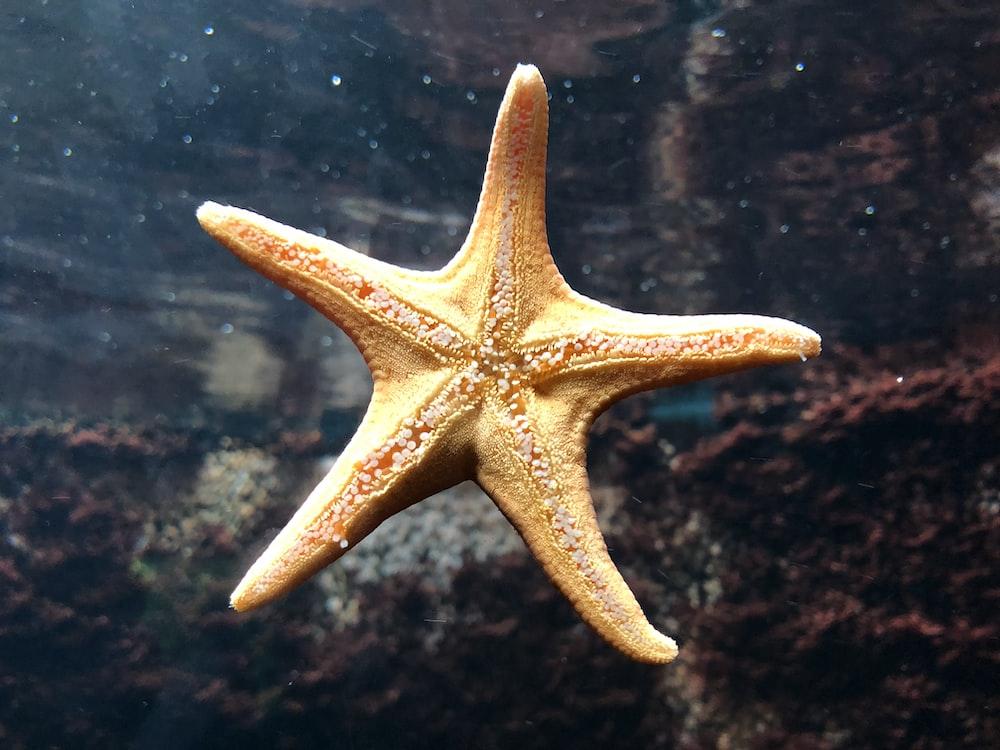 brown starfish