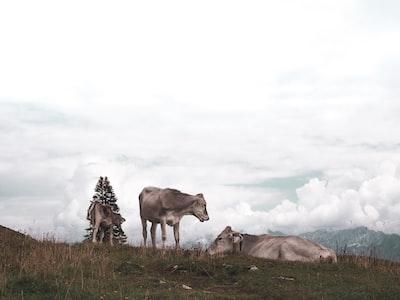 Bavarian Cows