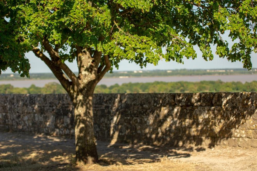 tall green tree near brown concrete wall