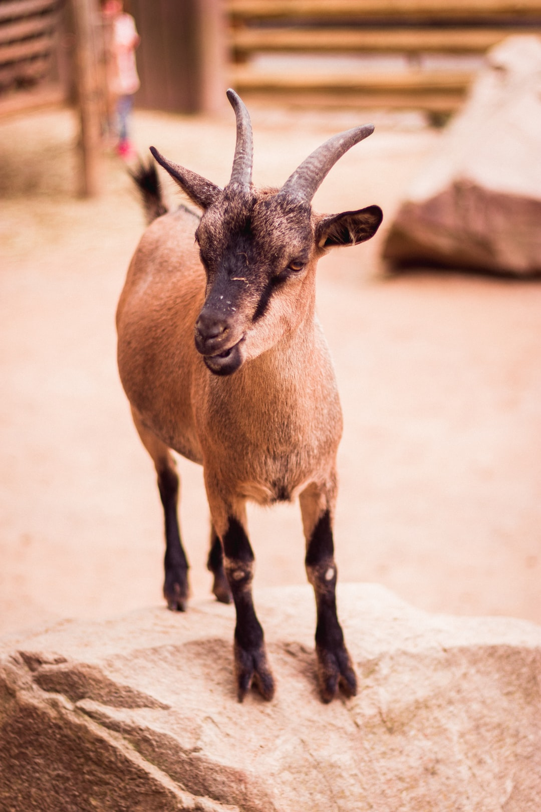 Goat in the Dortmunder Zoo