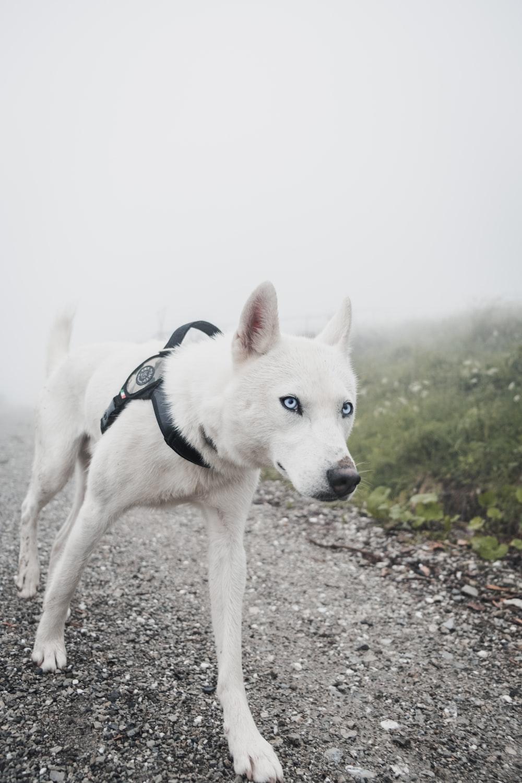short-coated white dog walking on pathway during daytime