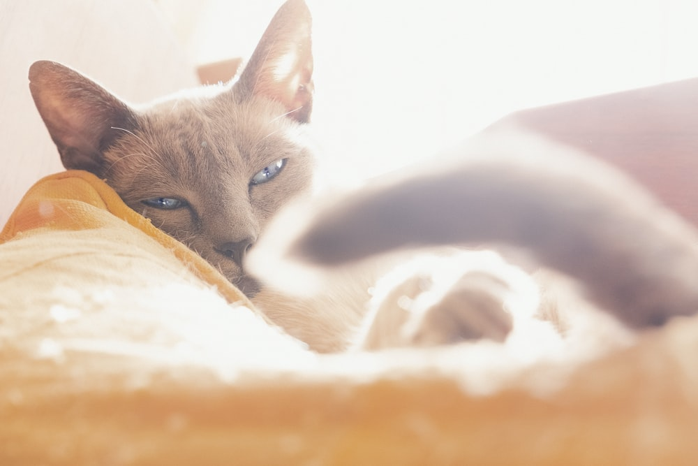 gray cat lying down on orange bed