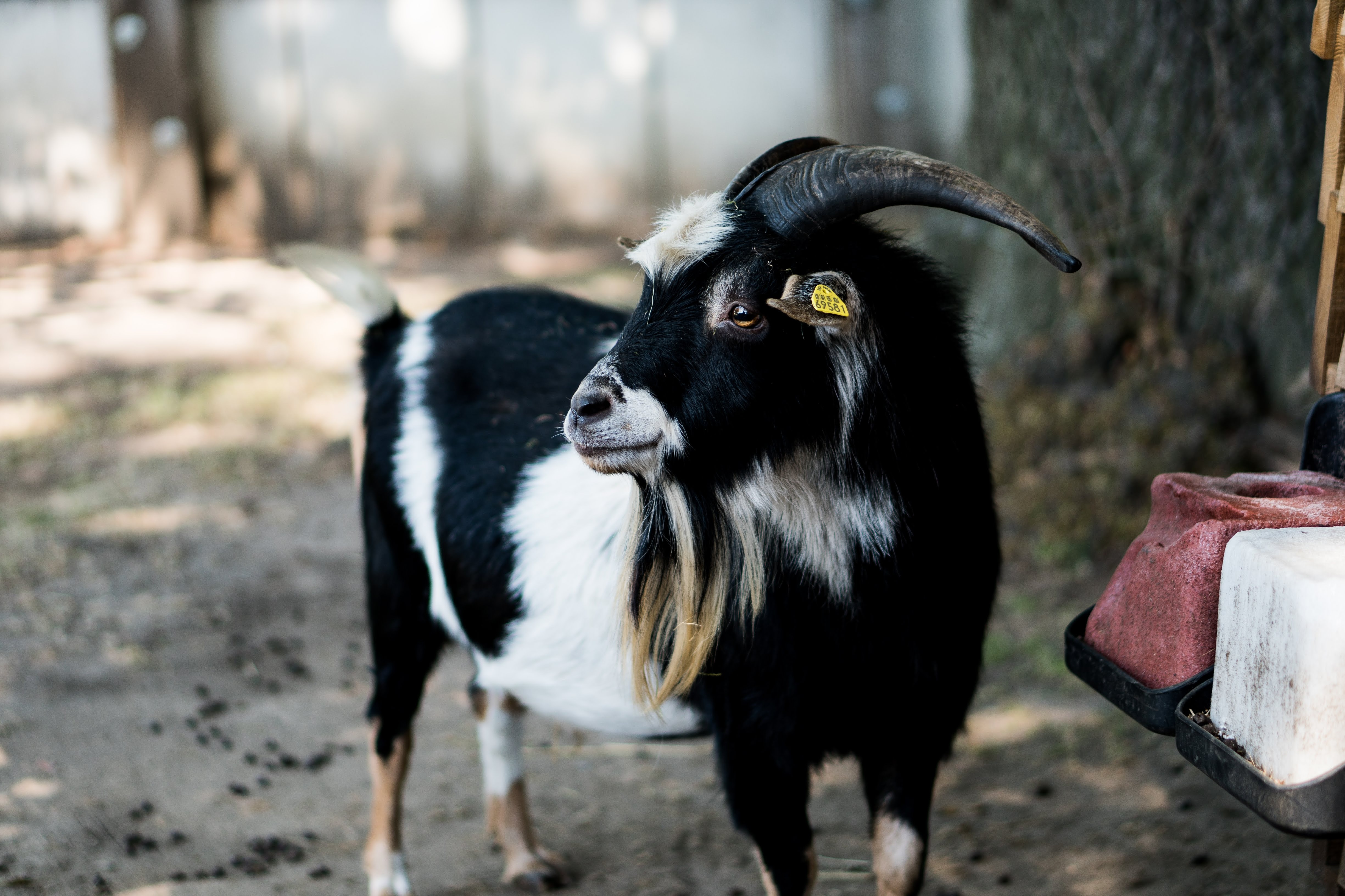 shallow focus photography of black and white goat