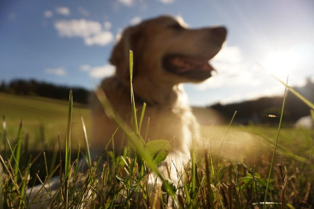 shallow focus photography of adult golden retriever