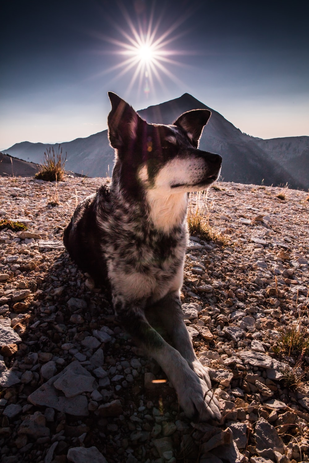 closeup photo of short-coated black and white dog reclining on brown rocks