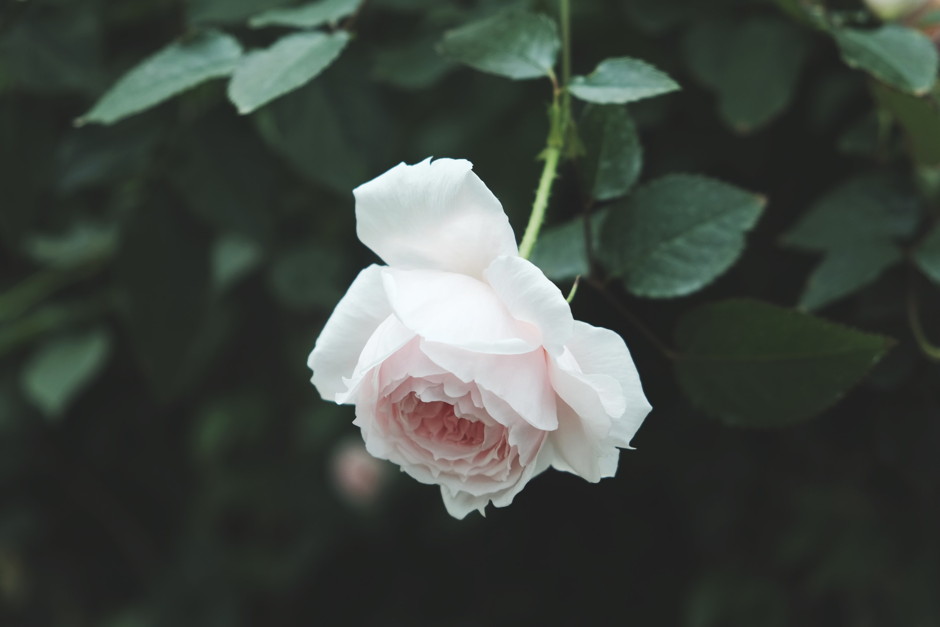 selective focus photography of white rose flower
