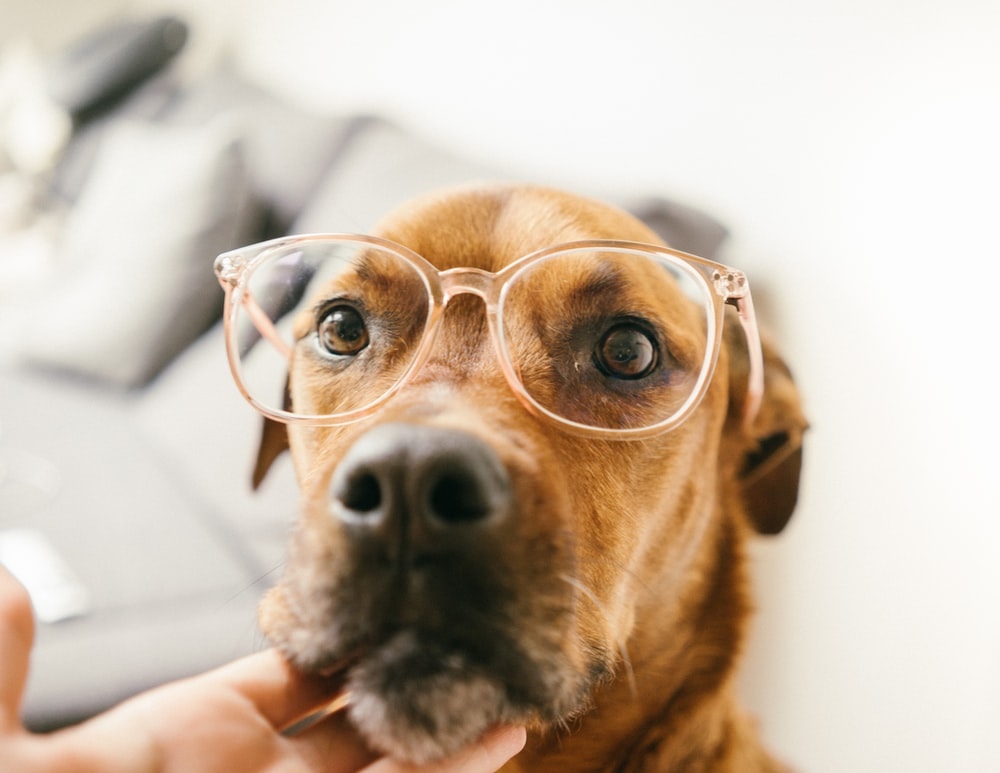 short-coated brown dog wearing eyeglasses being touch by human in chin