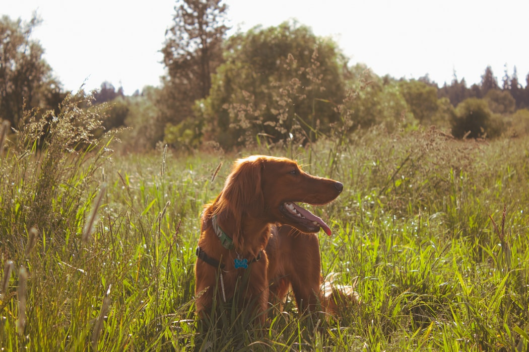 The Irish Setter standing still while waiting for his owner