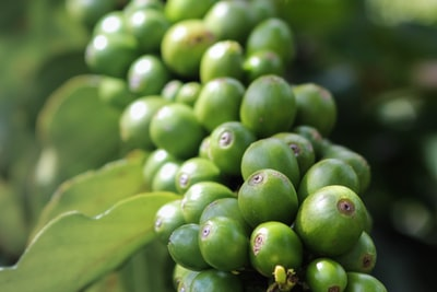 shallow focus photo of green fruit leafy teams background