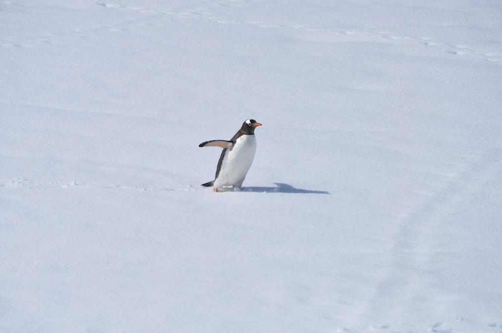 white and black penguin
