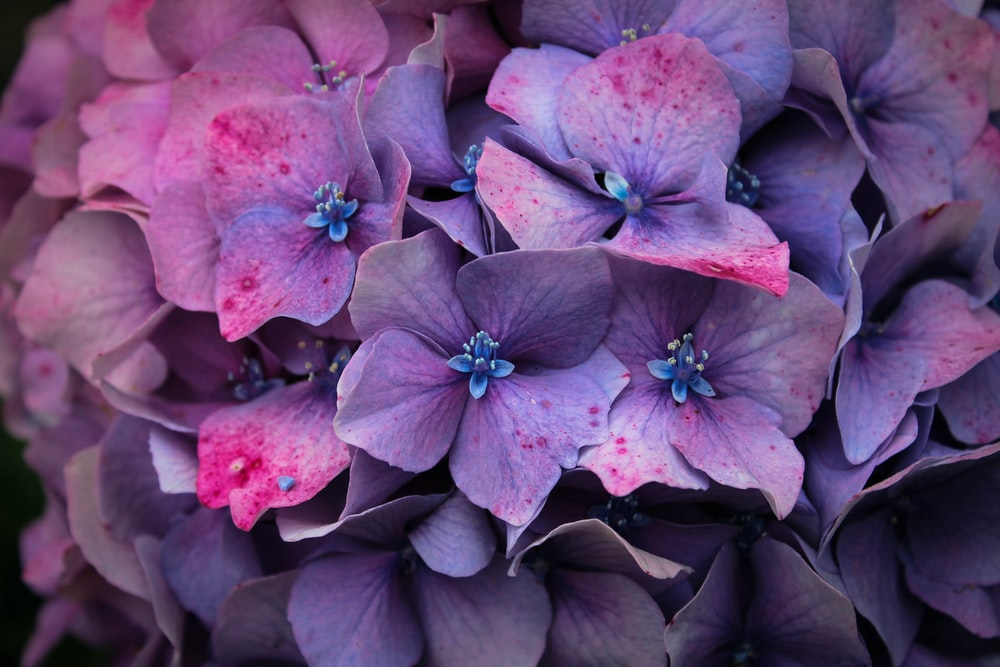 Hydrangea pictures hq download free images on unsplash purple flowers mightylinksfo