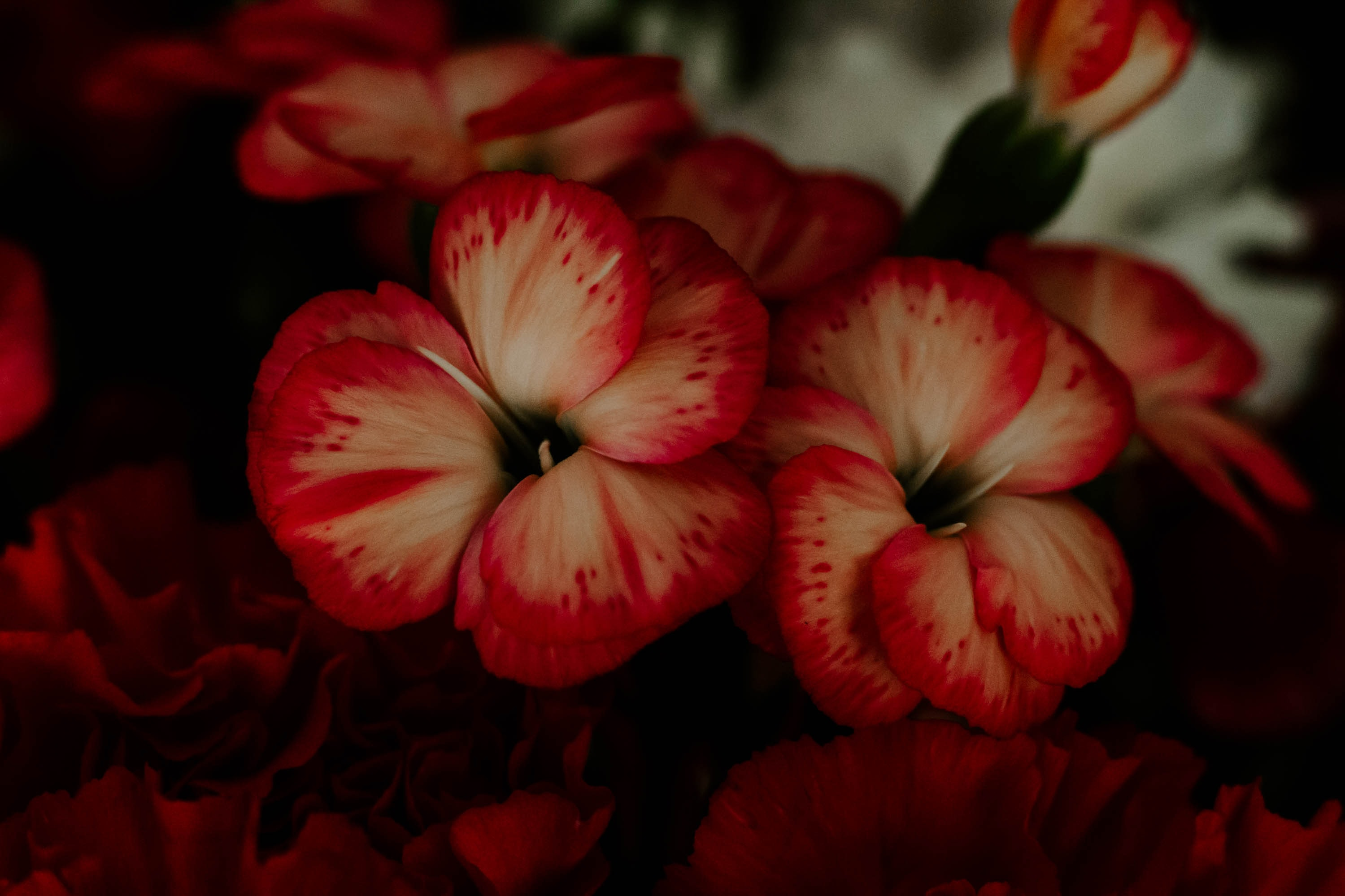 closeup photography of beige and red petaled flowers