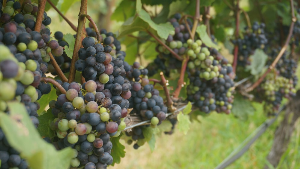 selective focus photography of grapes at daytime
