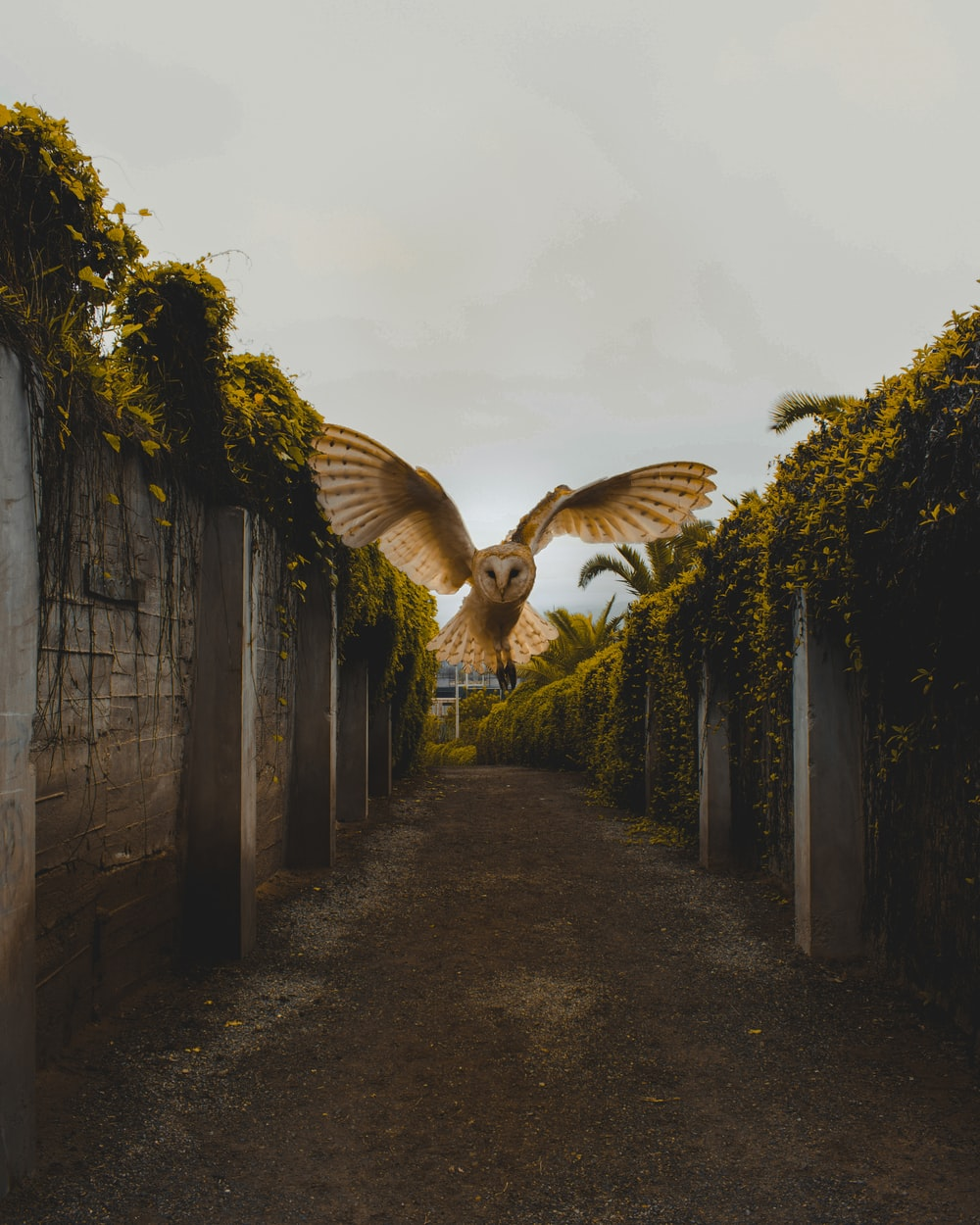 Owl Flying Between Walls