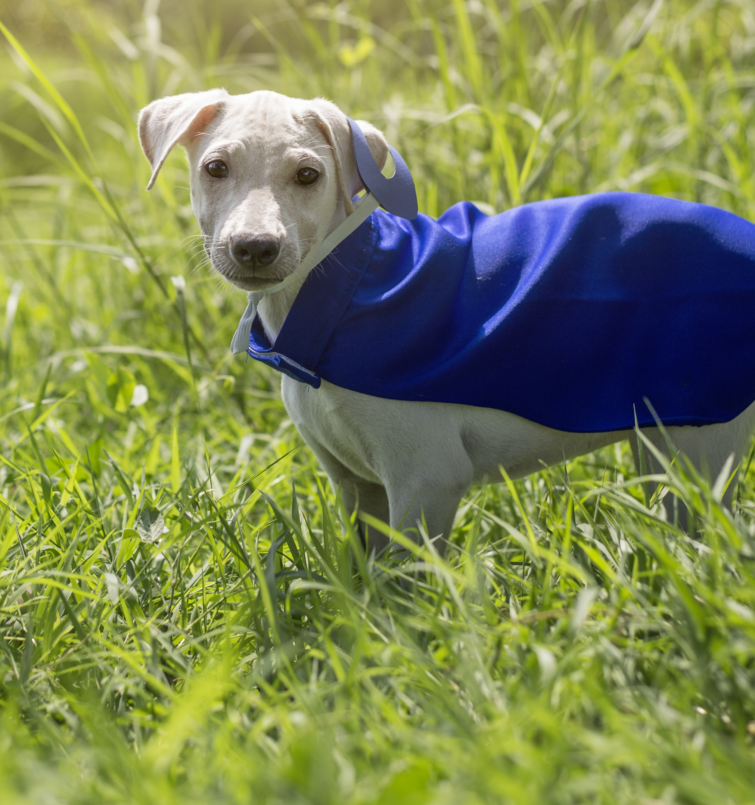 short-coated dog with blue cape on grass field