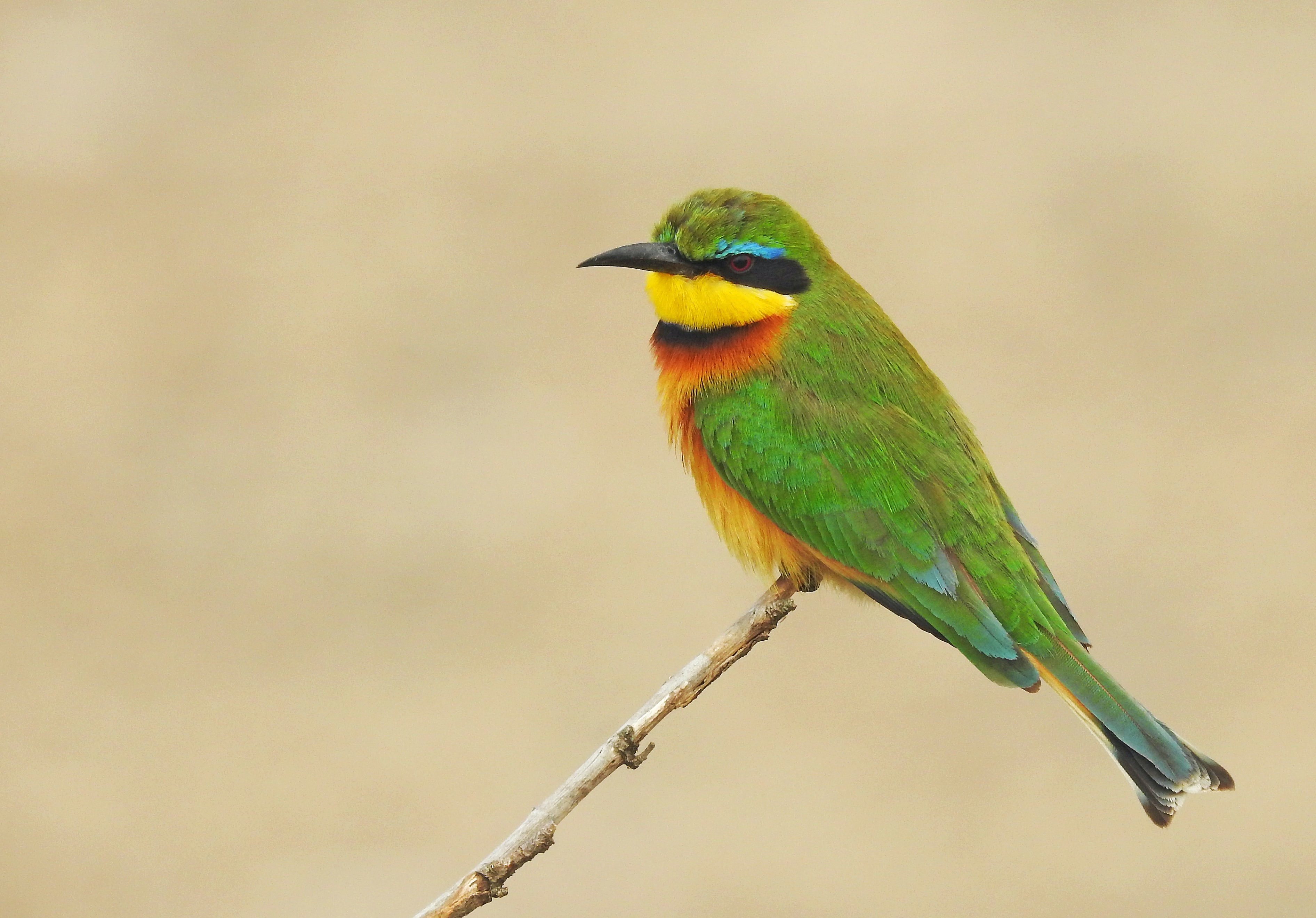 green, yellow, and red bird perched on brown stick