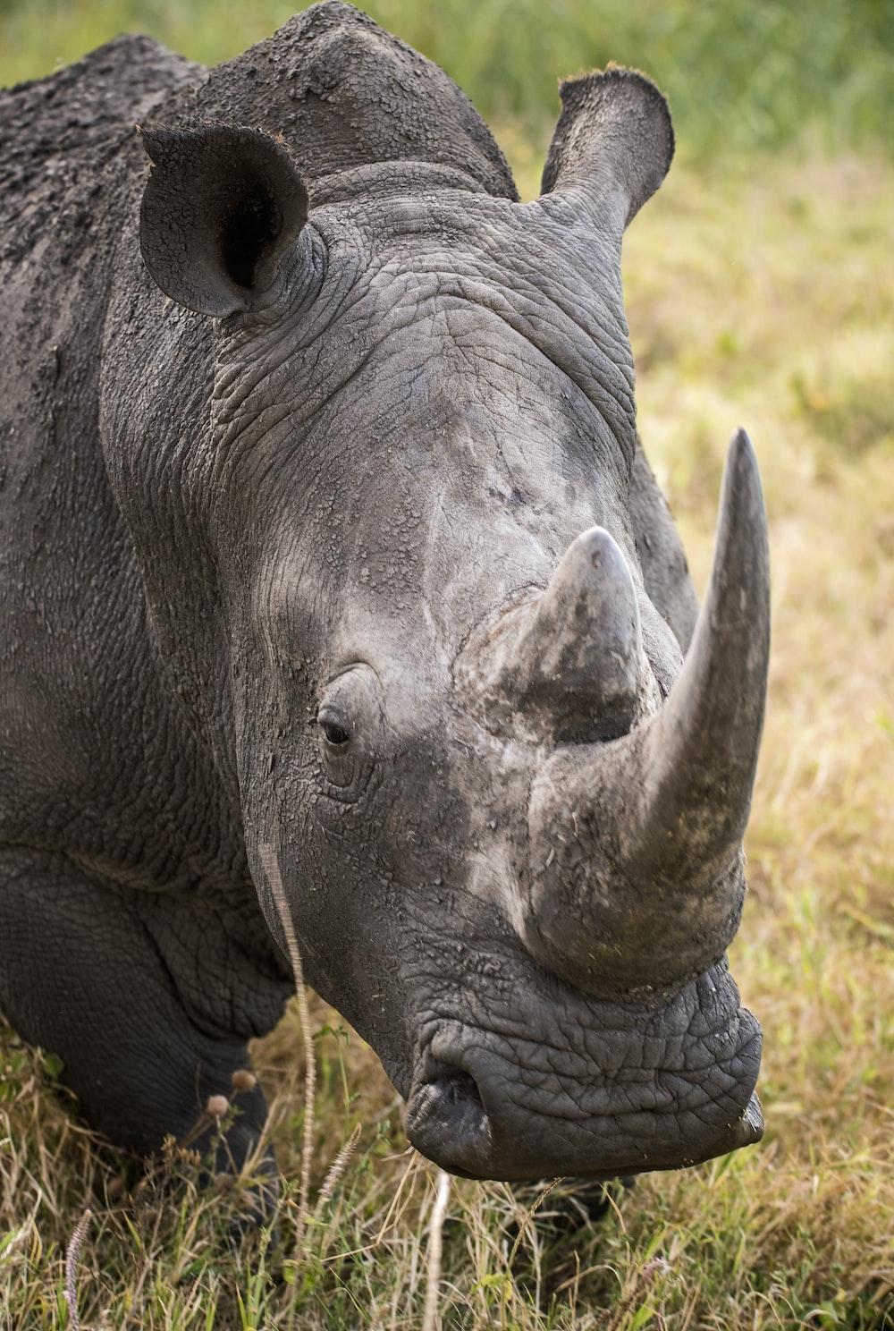 closeup of gray rhinoceros on green grass
