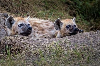 two brown Hyena lying on brown soil at daytime