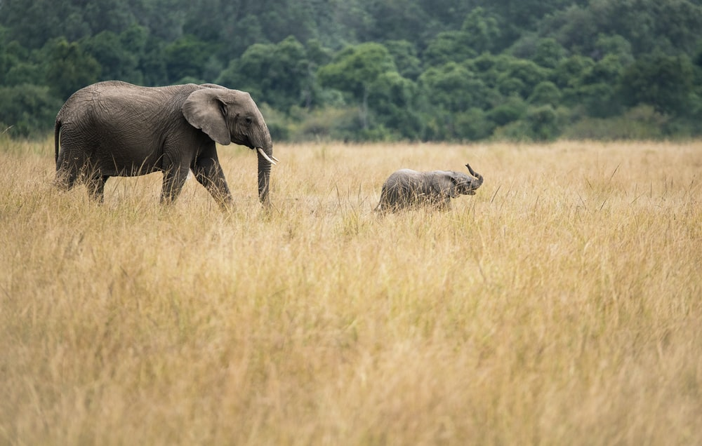 two elephants walking on dried grass field taken during daytime
