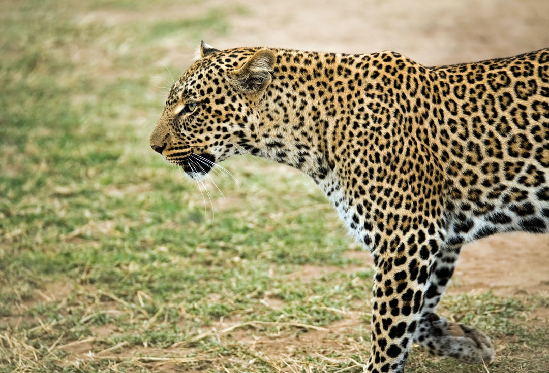 """Leopard. A female leopard patrols her territory, looking for food for her cubs. Much of the credit for this photo goes to Collins (with an """"s""""), a great driver/tour guide, who always seemed to know exactly where to go and what to do, and made this photo  possible. Masai Mara, Kenya."""