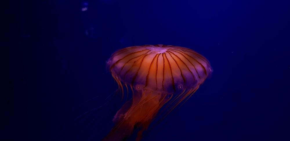 jellyfish underwater
