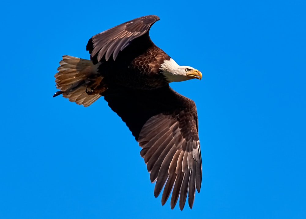 bald eagle in the air during daytime