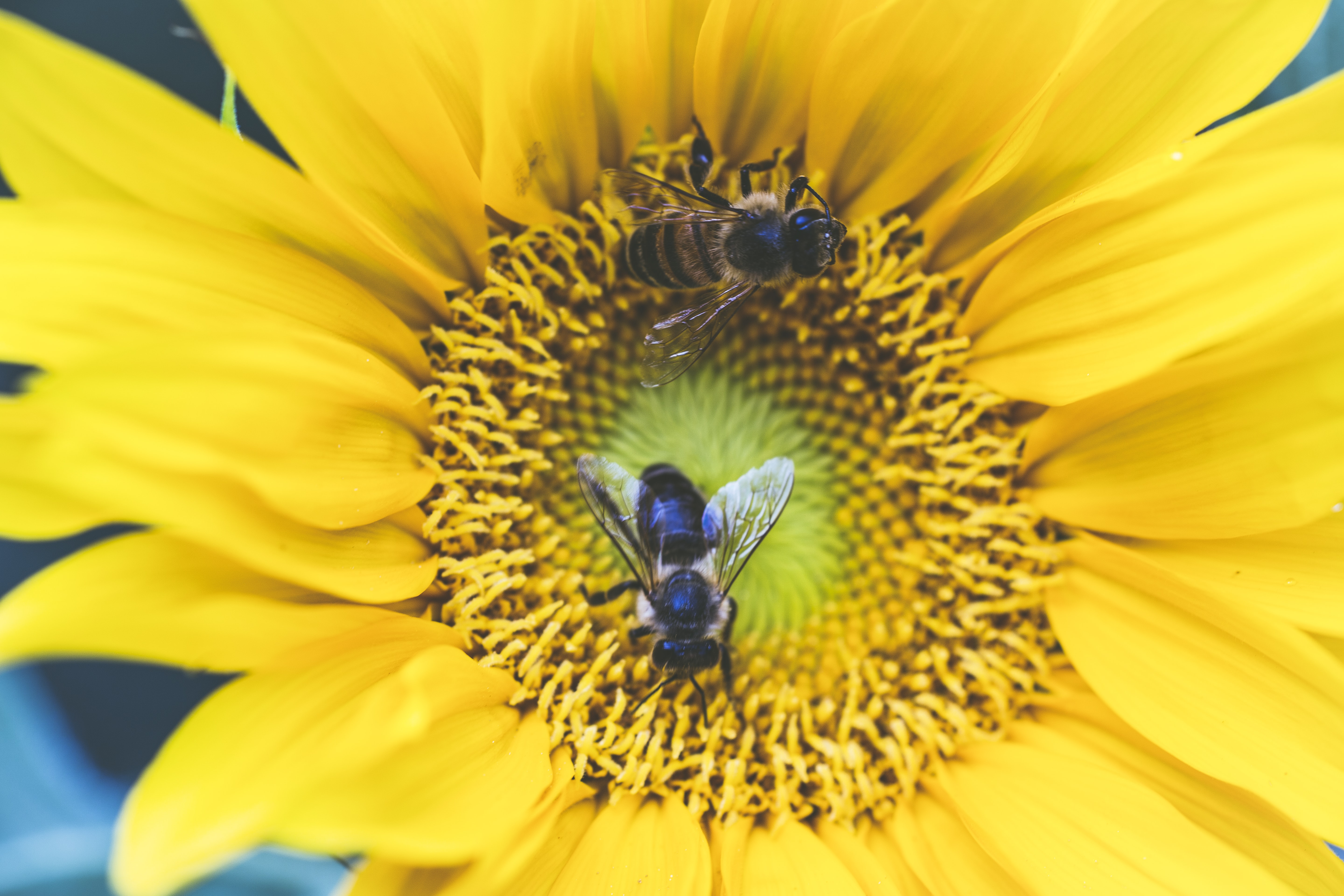 two bee on yellow petaled flower