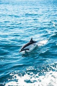 gray dolphin