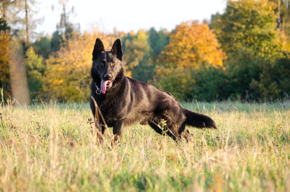 adult black German shepherd stand on green grass