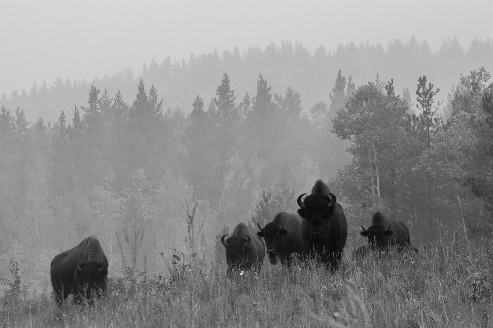 five black buffalo surrounded by trees