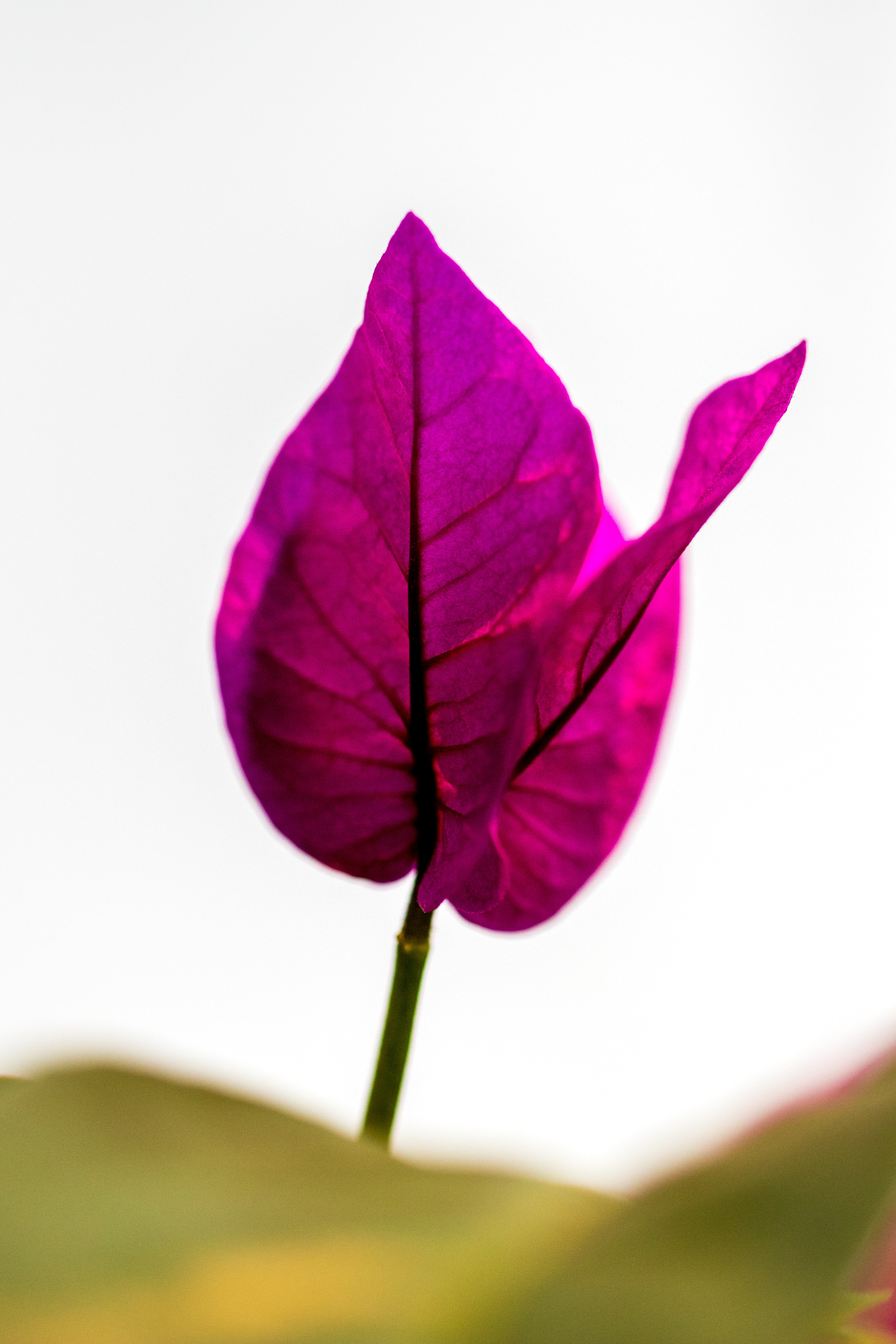 macro photography of pink leaves