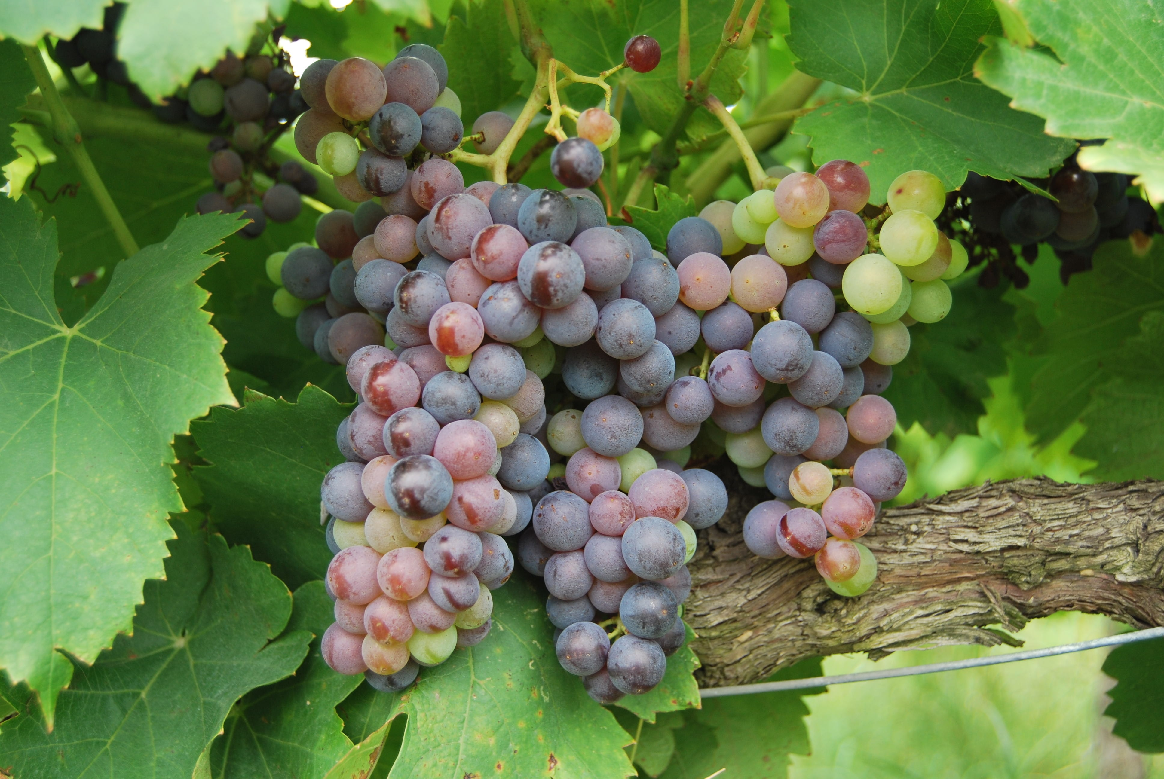 grapes fruit surrounded by leaves