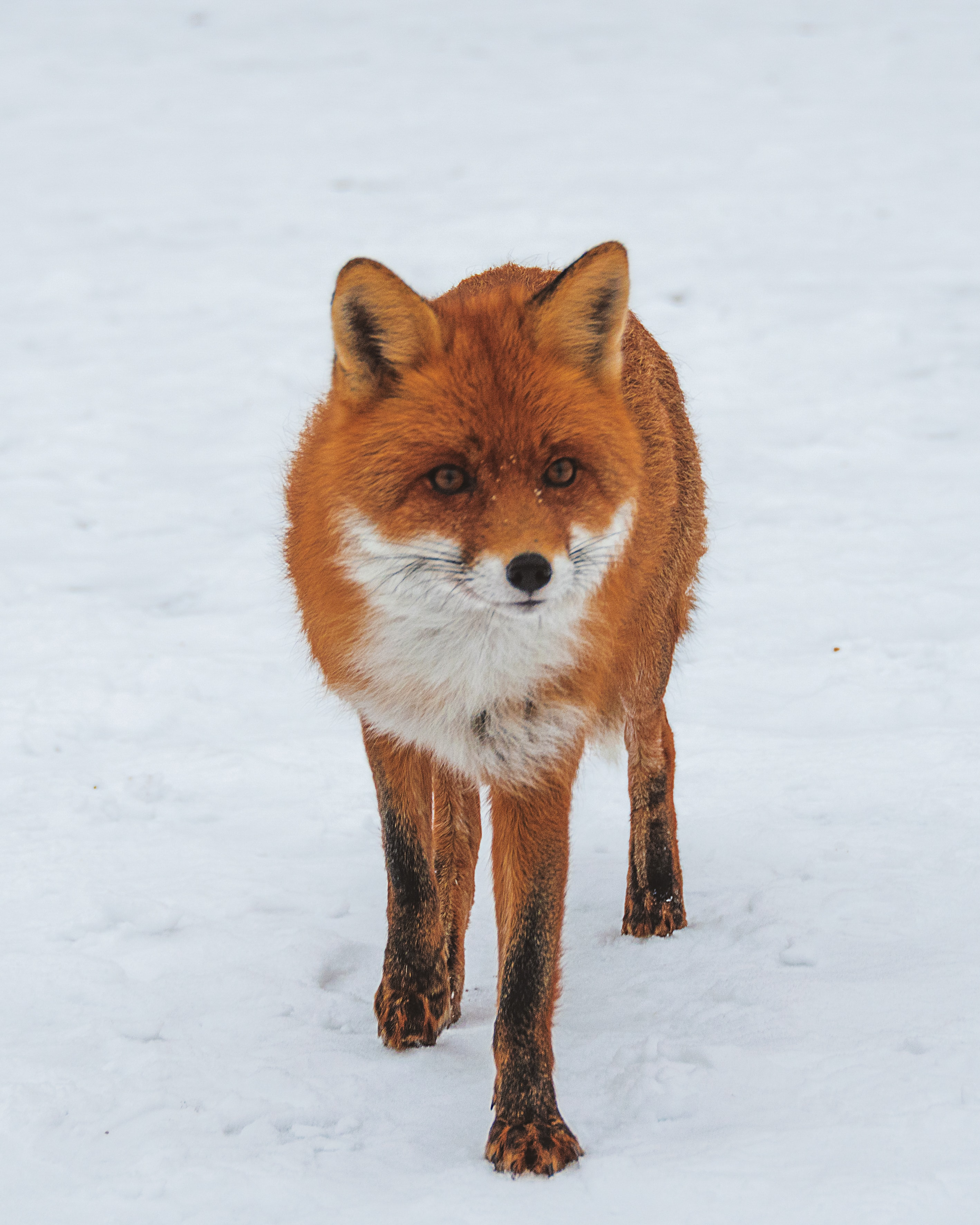 fox walking on snow field