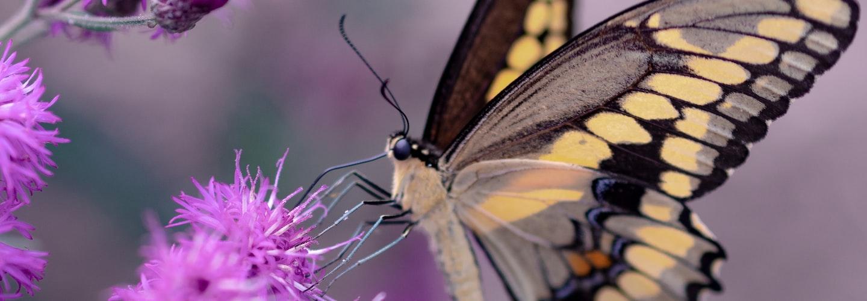 Growing Butterfly Gardens