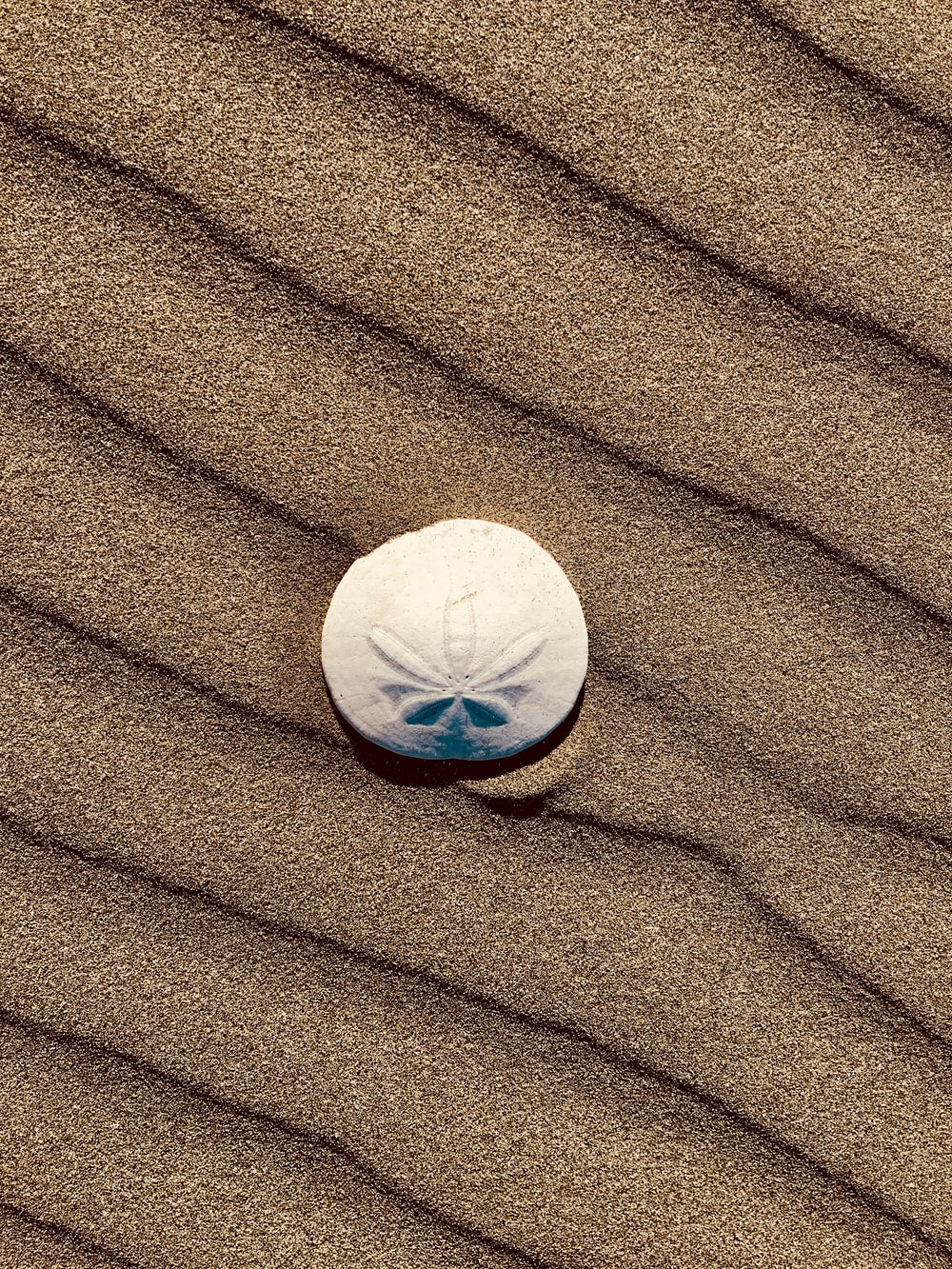 sand dollar on sand
