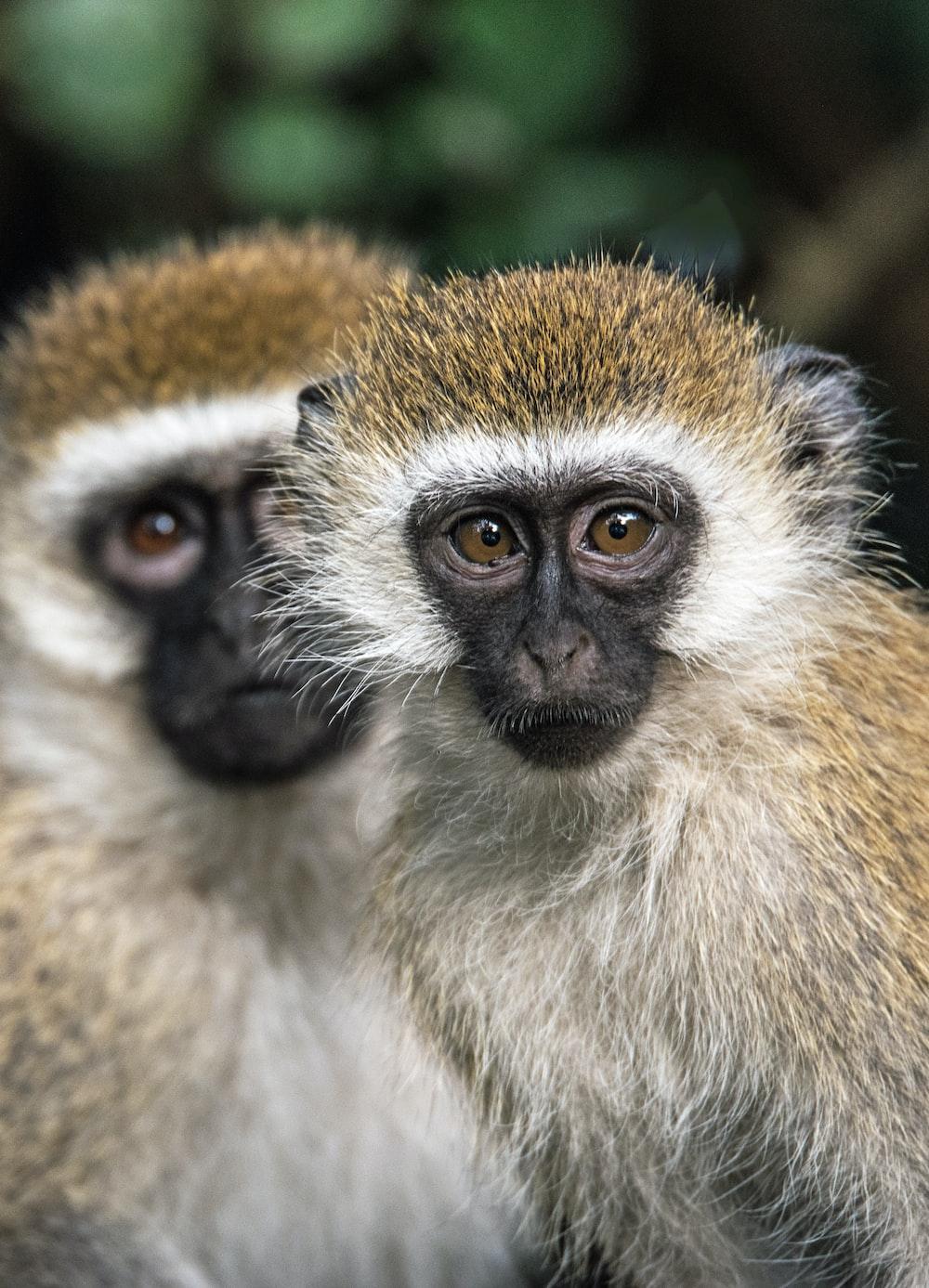 two brown monkeys