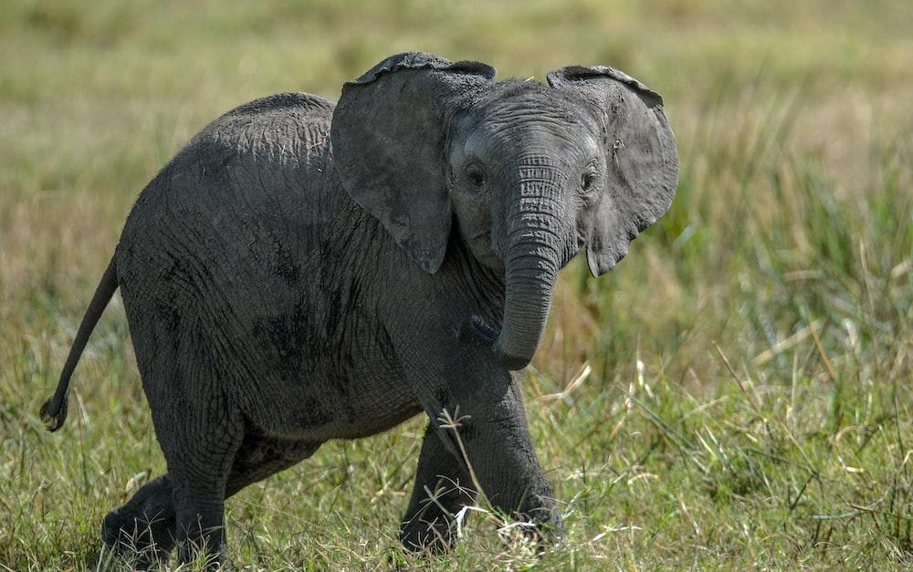 black elephant standing on grass