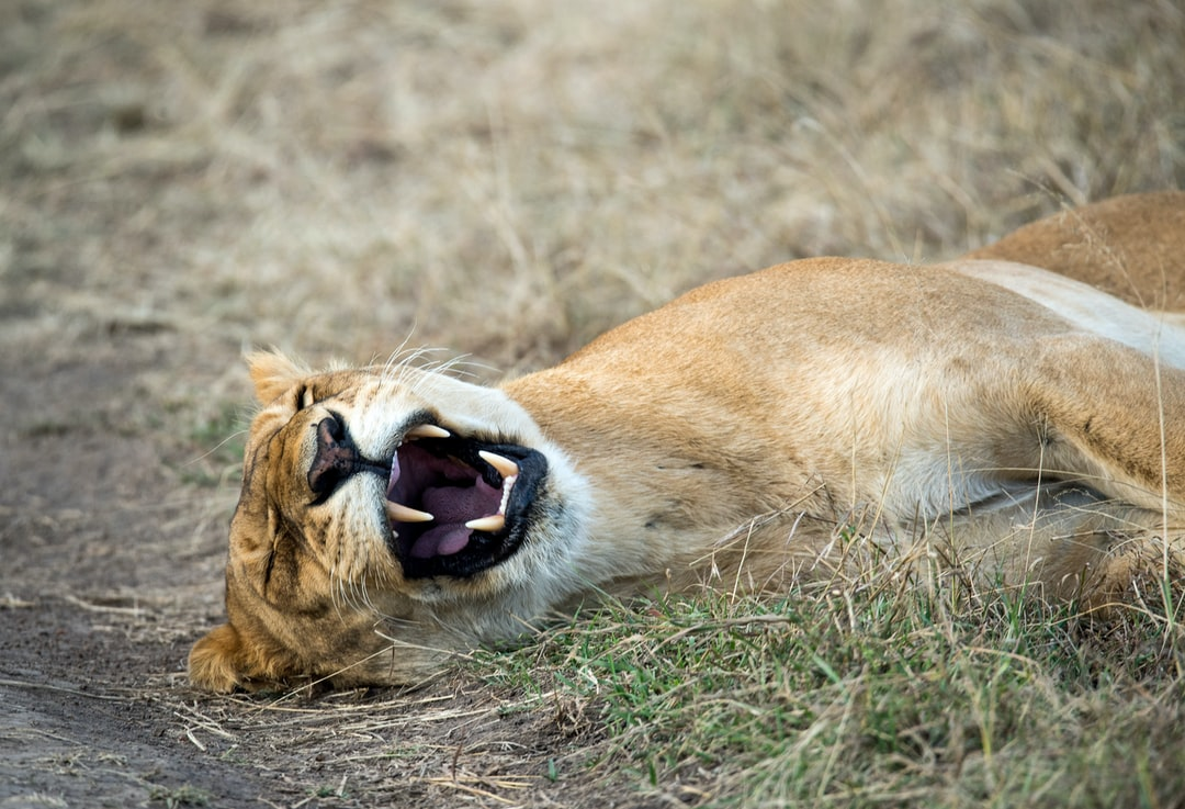 A sleeping lioness yawns and shows off her formidable teeth. Masai Mara, Kenya.