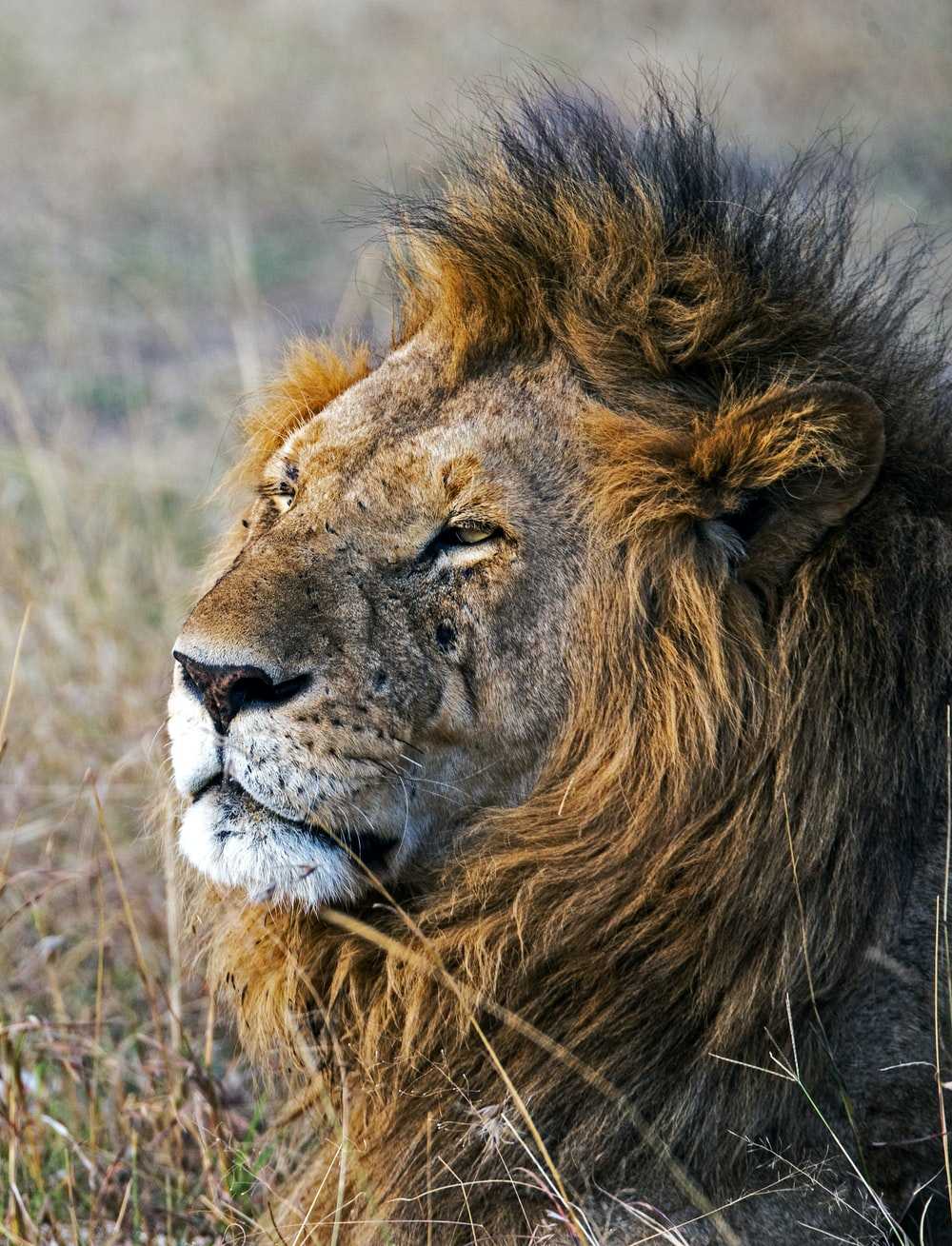 shallow focus photography of male lion