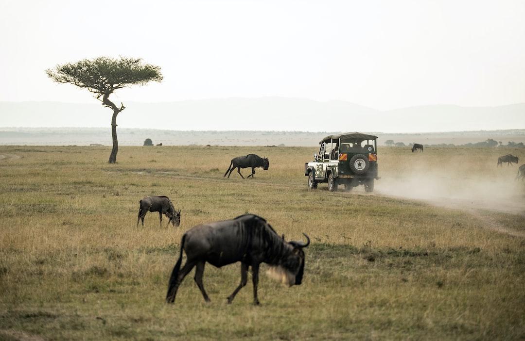 The marvelous Masai Mara. Some of the icons of the Masai Mara: a four wheel drive tourist vehicle, wildebeest, and a classic Balanites aegyptica tree.