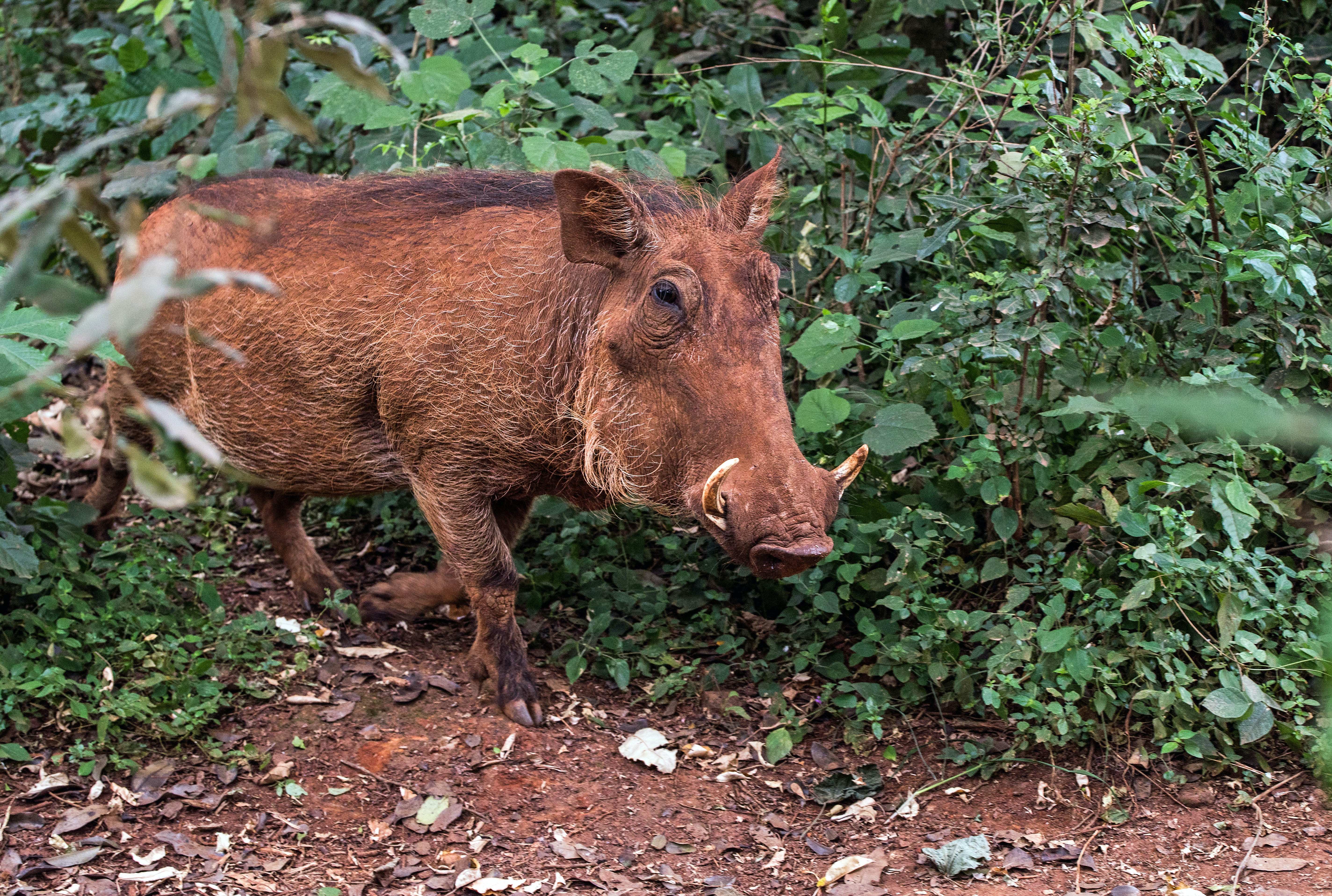person taking photo of brown boar