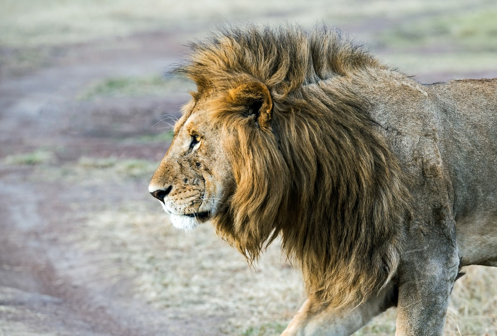 lion stand on soil