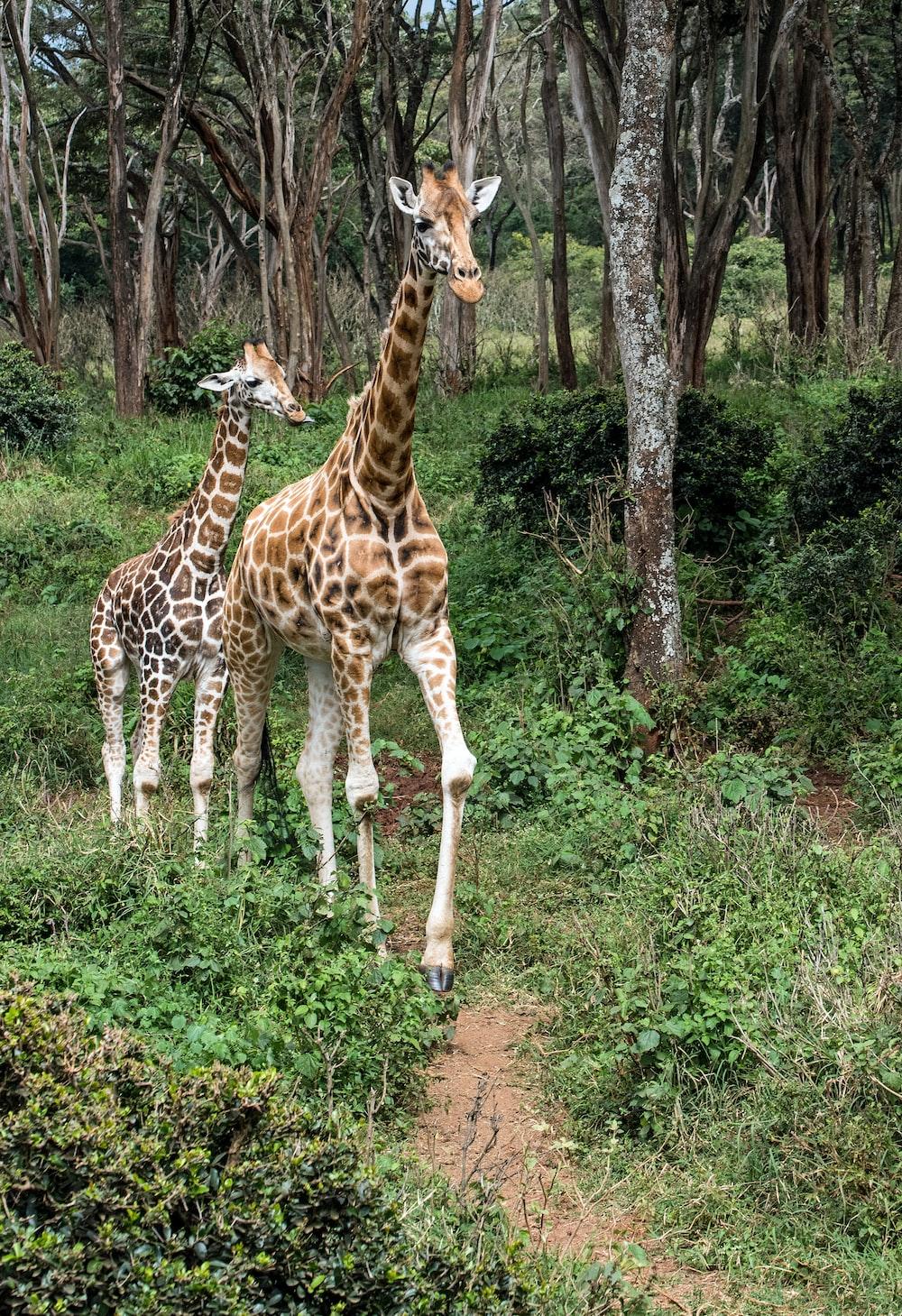 two giraffes on land