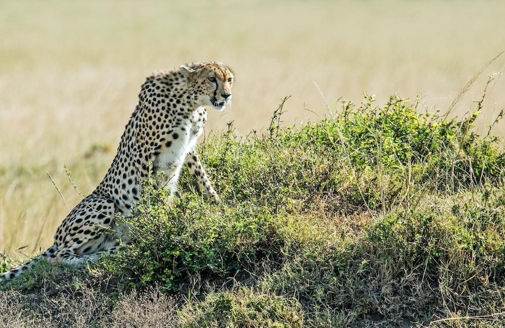leopard on green field