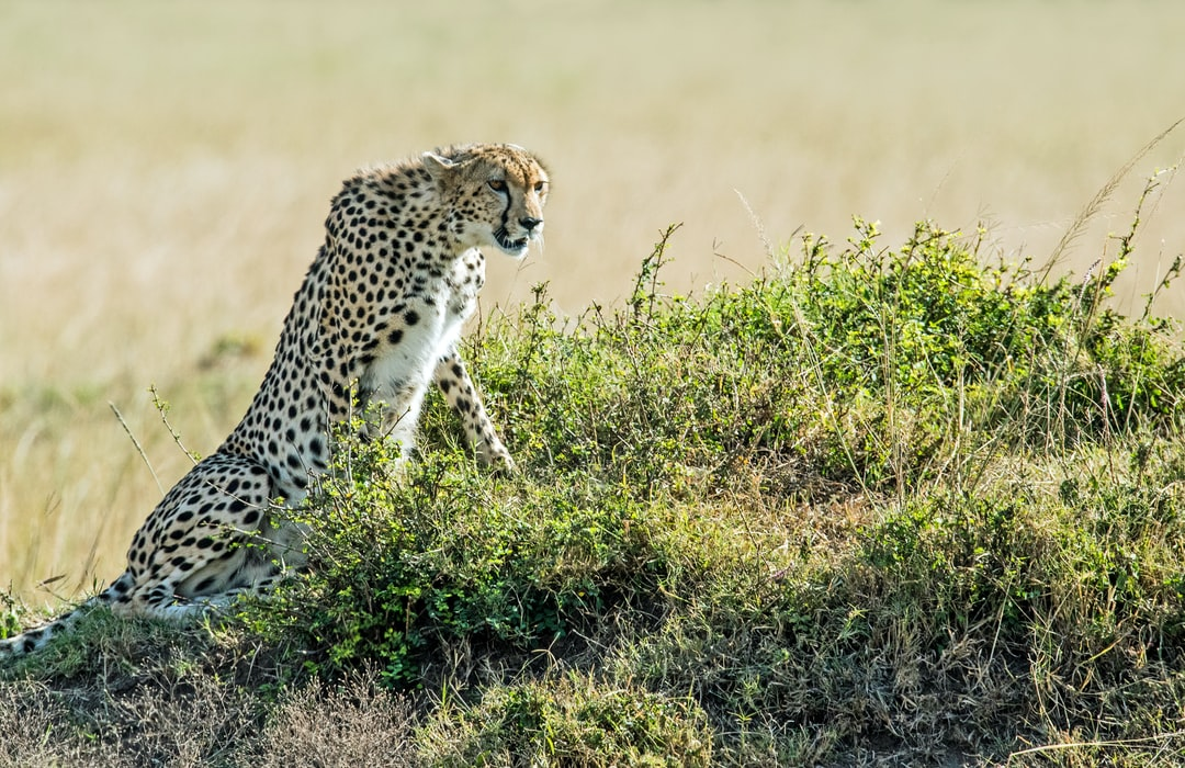 A cheetah uses a termite mound to get a good vantage point to look for the next meal. Masai Mara, Kenya.