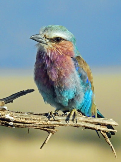 Lilac-breasted Roller. I think the Lilac-breasted Roller is one of Africa's most beautiful birds.
